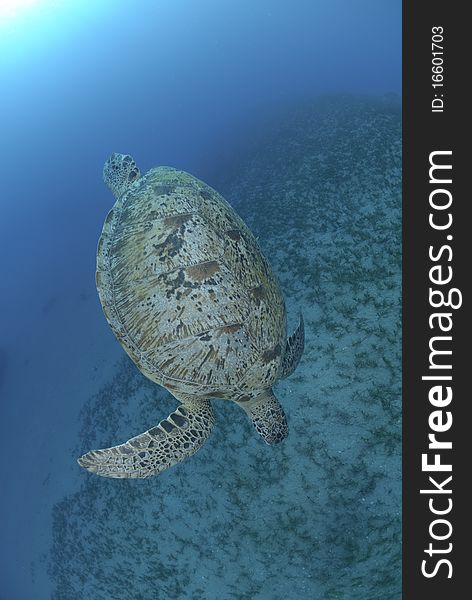 Green Sea turtle swimming dow the the ocean floor