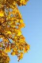 Free Autumn Maple Stock Images - 16611314