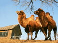 Free Camel Royalty Free Stock Photo - 16615765