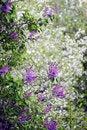 Free Lilac Royalty Free Stock Photo - 16617715