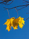 Free Last Autumn Leaves Royalty Free Stock Images - 16618219