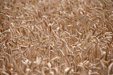 Free Wheat Field Stock Photo - 16610150