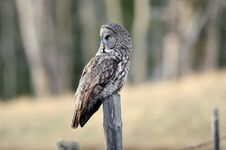 Free Great Gray Owl Perched Royalty Free Stock Image - 16611336