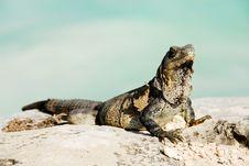 Free Iguana Royalty Free Stock Photo - 16612905