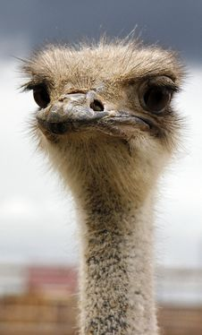 Free Ostrich Stock Photography - 16613422