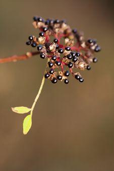 Free Wild Plant S Fruit Stock Image - 16615031