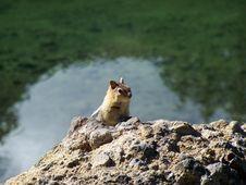 Free Chipmunk On Lava Rock Royalty Free Stock Image - 16615506