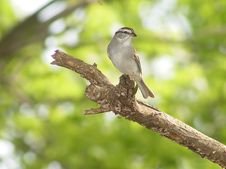 Free White Throated Sparrow Royalty Free Stock Photography - 16615877