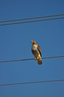 Free Red Tailed Hawk On Wire Royalty Free Stock Image - 16616206