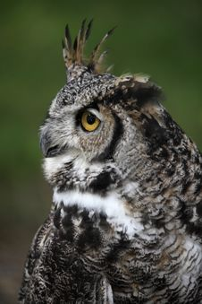 Free Great Horned Owl Royalty Free Stock Images - 16616469