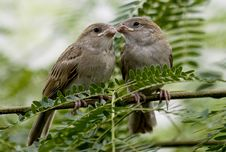 Free Siblings Of Common House Sparrows Royalty Free Stock Photography - 16617517