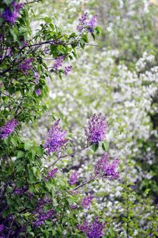 Free Lilac Royalty Free Stock Photo - 16617715
