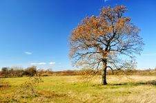Lonely Autumn Oak Tree Stock Images