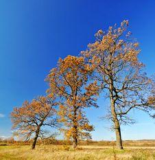 Three Oak Trees In The Field Stock Photo