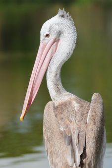Free Pelican Stock Photo - 16619720