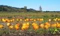 Free Pumpkin Field Stock Images - 16626734