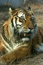 Free Asian Beautiful Tiger Stock Image - 16628041