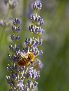 Free Bumblebee And Lavender Stock Photos - 16620843
