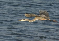 Free Great Blue Heron In Flight Stock Image - 16623421