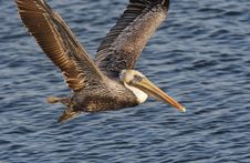 Brown Pelican In Flight Closeup Stock Images