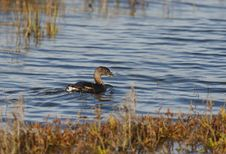Free Pied-Billed Grebe Royalty Free Stock Image - 16623426