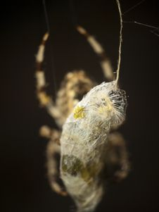 Free Spider Stock Images - 16623964