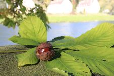 Free ...chestnuts... Stock Image - 16624351