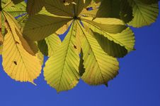 Chestnuts Leaves And Fly Royalty Free Stock Photography