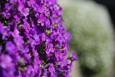 Free Cosmos Flower Stock Image - 16626351