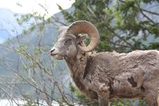 Free Young Rocky Mountain Bighorn Sheep Royalty Free Stock Photo - 16626515