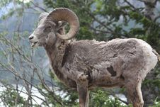 Free Young Rocky Mountain Bighorn Sheep Stock Images - 16626524