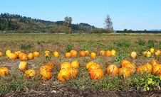 Free Pumpkin Field Stock Images - 16626734