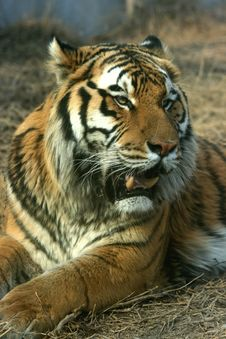 Free Asian Beautiful Tiger Stock Image - 16628041