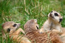 Free Bunch Of Meerkats Royalty Free Stock Photos - 16628188