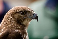 Free Red Tailed Hawk Stock Photos - 16628643