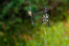 Black Yellow Garden Spider On Web Royalty Free Stock Photography