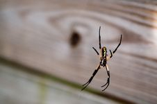 Free Black Yellow Garden Spider On Web Stock Image - 16628761