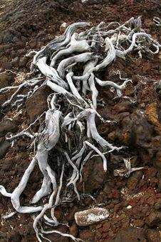 Tree Roots. Royalty Free Stock Photo