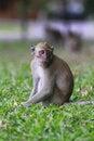 Free Monkey Royalty Free Stock Photos - 16630098