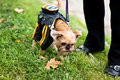 Free Griffon Bruxellois Is Walking In Park Royalty Free Stock Photo - 16632455