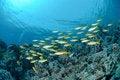 Free Small School Of Red Sea Goatfish Stock Photos - 16636713