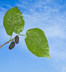 Black Mulberries Royalty Free Stock Images