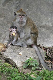 Free Monkey Royalty Free Stock Photo - 16630065