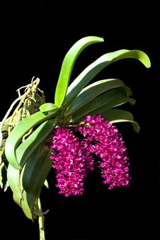 Free Wild Orchid Stock Image - 16630261