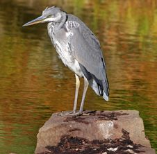 Free Grey Heron Perched On A Rock Stock Photography - 16630472