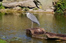 Free Grey Heron Perched On A Rock Stock Images - 16630494
