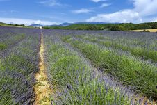 Free Lavender Field In French Royalty Free Stock Photography - 16630967