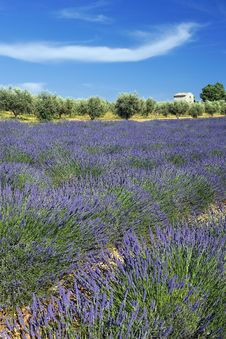 Free French Lavender Field And Cloud Royalty Free Stock Photography - 16630977
