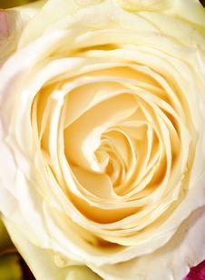 Free Rose Stock Photo - 16631120