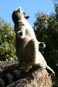 Sunbathing Lemur Stock Photos